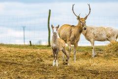 David's Deer in animal park. Stock Image