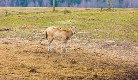David's Deer in animal park. Stock Photos