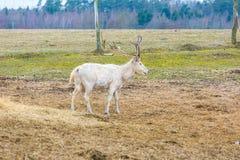 David's Deer in animal park. Stock Photo