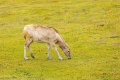 David's Deer in animal park. Stock Photography