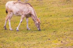 David's Deer in animal park. Royalty Free Stock Photos