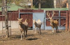 David's Deer (Elaphurus davidianus). Père David's deer (Elaphurus davidianus), also known as the milu  or elaphure, is Royalty Free Stock Photography