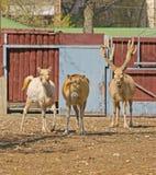 David's Deer (Elaphurus davidianus). Père David's deer (Elaphurus davidianus), also known as the milu  or elaphure, is Royalty Free Stock Image