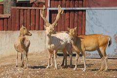 David's Deer (Elaphurus davidianus) Royalty Free Stock Photo