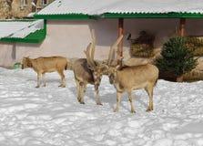 David`s Deer Elaphurus davidianus Stock Photos