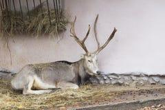 The David's Deer (Mila). Stock Photography