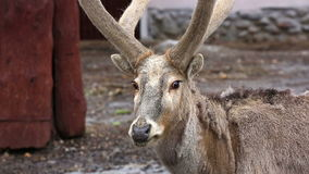 David's deer in open-air cage of a zoo close-up stock footage