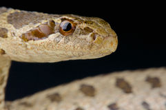 David's ratsnake / Elaphe davidi Stock Photos