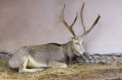 David's deer, or Milu Royalty Free Stock Photography