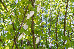 Davidia involucrata Royalty Free Stock Images