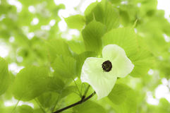 Davidia Involucrata - Commonly Handkerchief Tree Stock Image
