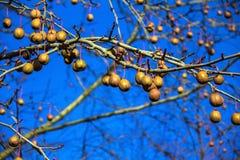 Davidia involucrata, the dove-tree,  handkerchief , pocket handkerchief or ghost tree Stock Photo