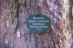 Davidia involucrata, the dove-tree,  handkerchief , pocket handkerchief or ghost tree Stock Image