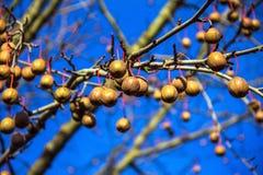 Davidia involucrata, drzewo, chusteczka, kieszeniowa chusteczka lub ducha drzewo, Zdjęcie Stock