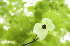 Davidia Involucrata - geläufig Taschentuch-Baum Stockbild