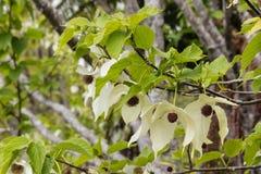 Davidia involucrata tree flowers Stock Photography