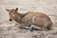 Davidianus do Elaphurus dos cervos do ` s de Pere David fotografia de stock