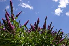 davidii buddleia стоковые изображения rf