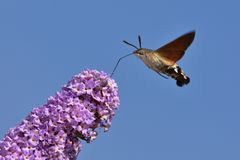 Davidii de Buddleja - buisson de papillon avec la faucon-mite de colibri à l'arrière-plan contre le ciel bleu photo stock