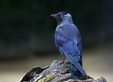Daw , bird Stock Photography