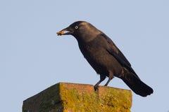 Daw (Corvusmonedula) äter ett stycke av bröd Royaltyfri Fotografi