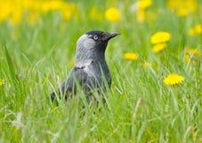 Daw de cric noir sur l'herbe Images libres de droits
