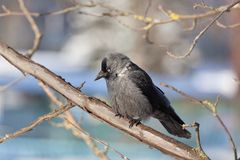 Daw sits on a mountain ash branch. The bird Daw sits on a mountain ash branch in winter day Stock Images