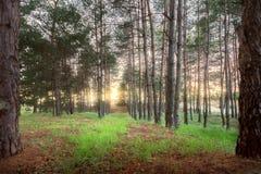 Dawn στα δέντρα του δάσους Στοκ Φωτογραφίες