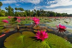 Dawn στη λίμνη με τα lotuses Καμπότζη, Angkor Wat Στοκ εικόνα με δικαίωμα ελεύθερης χρήσης