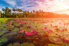 Dawn στη λίμνη με τα lotuses Στοκ εικόνες με δικαίωμα ελεύθερης χρήσης