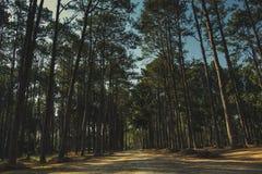Dawn στο δάσος πεύκων Στοκ Εικόνες
