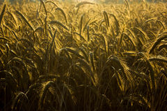 Dawn in the Barley Stock Image