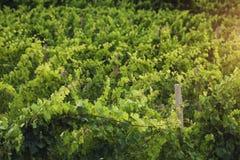 Dawn bij de wijngaard Royalty-vrije Stock Foto's