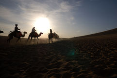 At dawn,camels in the desert. Camels in Singing Sands Mountain gansu province in China Royalty Free Stock Images