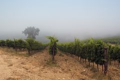 Dawn in chianti, tuscany. Fog wraps up some vineyards in chianti, Tuscany royalty free stock image