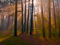 Dawn of coniferous forest Stock Images