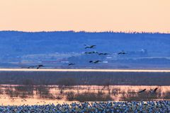 Dawn with cranes flying over a lake. Flock of cranes flying over a lake in morning light Stock Photos