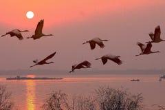 Dawn de kranen vliegen de qiantangrivier stock fotografie