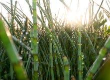 Dawn de zon verlicht struikgewas van weidehorsetail, met druppeltjes van dauw wordt behandeld die Stock Fotografie