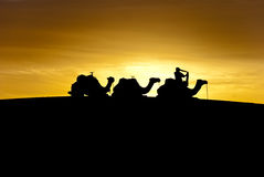 Dawn in the desert. Silhouette of camels on a dune at dawn Stock Photos