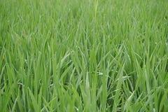 Morning dew in rice fields. Dawn dew is formed in summer green fields stock photos
