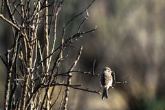 Chipping Sparrow on the edge of a marsh in early spring. At dawn in early spring, a juvenile Chipping Sparrow perches on a bare bush in Alamosa National Wildlife royalty free stock photography