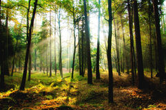 Dawn in een bos Royalty-vrije Stock Fotografie