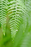 Dawn of ferns Stock Photography