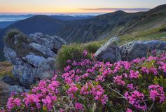 Dawn with flowers in the mountains. Fabulous sunrise in the mountains. Beautiful summer landscape with flowers of rhododendron. Meadow with red flowers Stock Photo