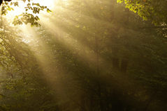 Dawn in a forest. Foggy morning in a forest Royalty Free Stock Photo