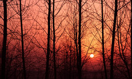 Dawn of forest. The sun rises in winter trees stock image