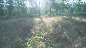 Dawn in the forest. Sun rays are moving through the forest stock footage