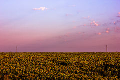 Dawn in the golden field of sunflower Stock Photos