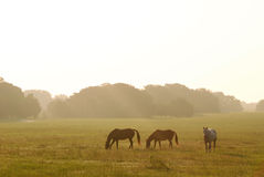 Dawn Horses Stock Image